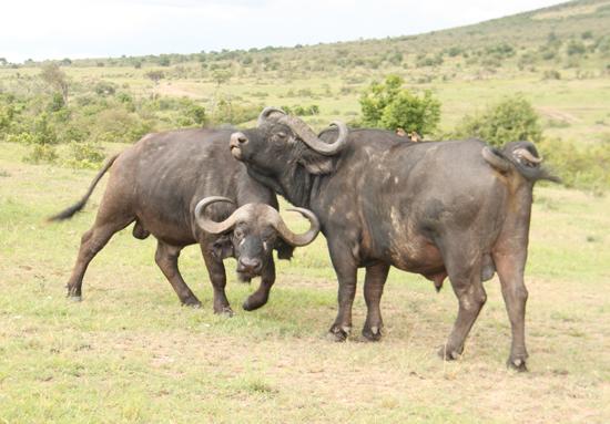 Kenya buffaloes