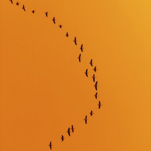 Canada geese migration fine art photography